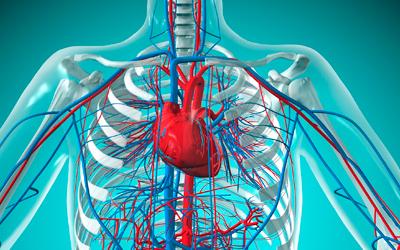 Поражается сердечно-сосудистая система - Веримед