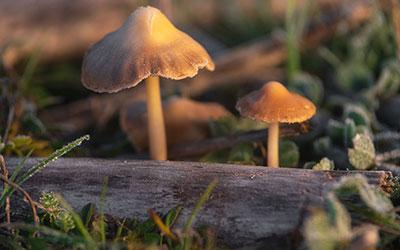 Действие псилоцибиновых грибов на организм человека - Веримед