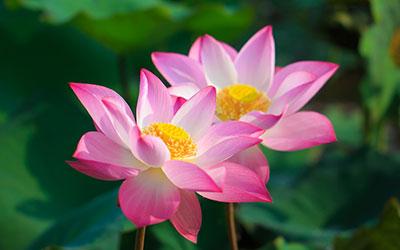 Розовый лотос - Веримед