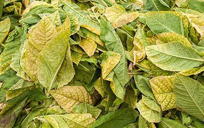 Сухие табачные листья - Веримед