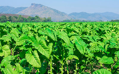 Табачные листья - Веримед